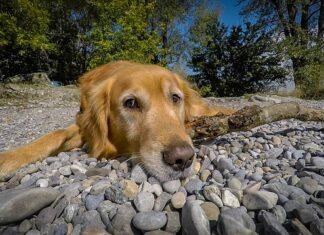 Dogs That Eat Rocks