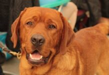Pros and Cons of Owning a Fox Red Lab