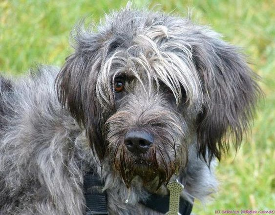 Bearded Collie Poodle Mix Facts First