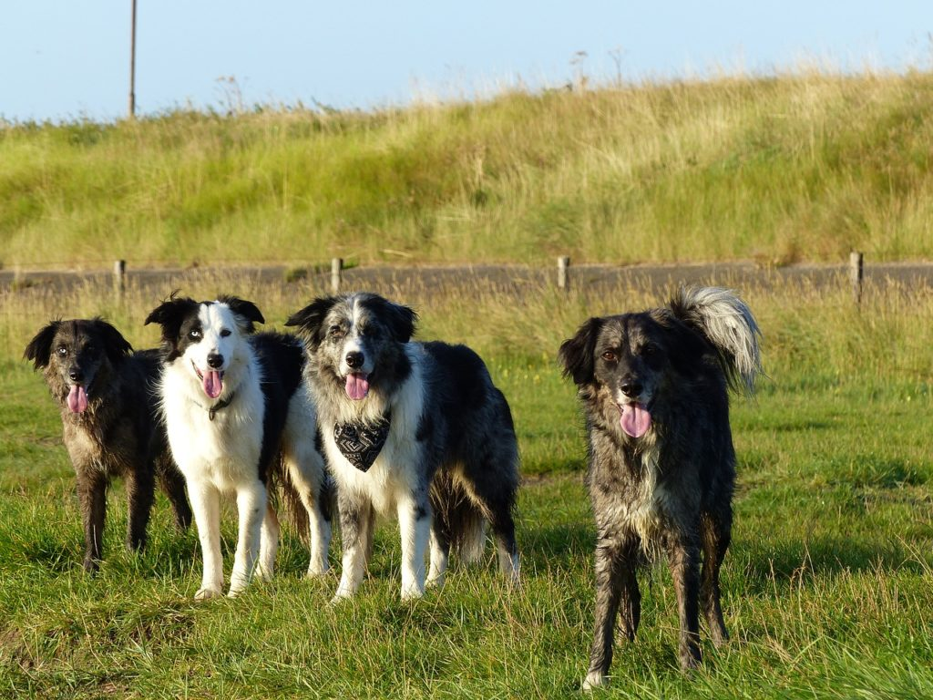 Everything About The Blue Merle Border Collie Breeding Secrets Included Healthy Homemade Dog Treats
