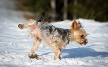 Dog Breeds Prone to Sensitive Stomachs