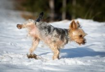 How Long Can a Small Dog Hold Its Bladder Overnight