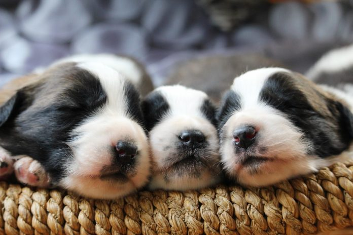 How Many Hours Does a Puppy Sleep at Night?