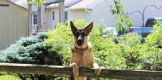 Best Medium to Large Size Family Protection Dog