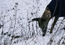 Why Do Dogs Eat Poop in the winter?