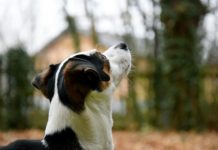 Is Diffusing Peppermint Oil Safe for Dogs?