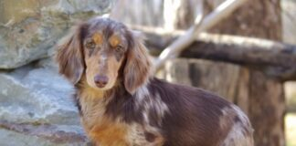 Pros and Cons of Owning a Dapple Dachshund