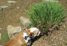 Is Lemongrass Oil Safe For Dogs?