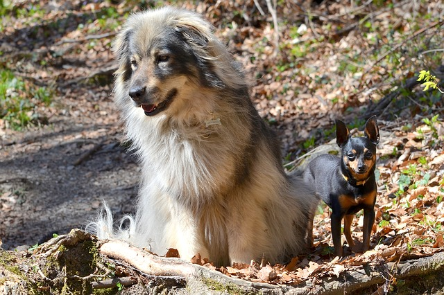 Small Dog Breeds that Don't Shed or Bark