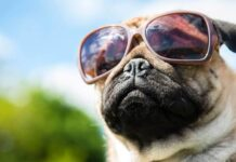Best Goggles for Pugs