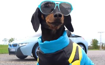 about Crusoe the Celebrity Dachshund