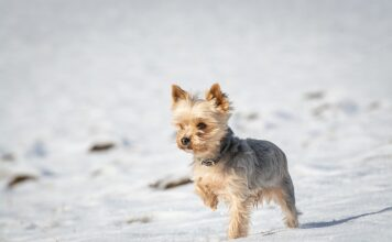 How Much Is A Teacup Yorkie?