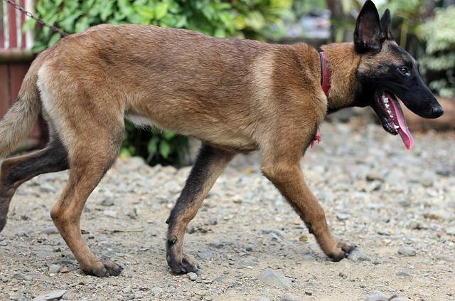 Belgian Malinois Mixes Top 7 Perfect Cross Breeds For Belgian Malinois Lovers Healthy Homemade Dog Treats