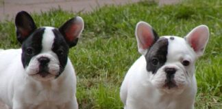 Pied French Bulldog Facts