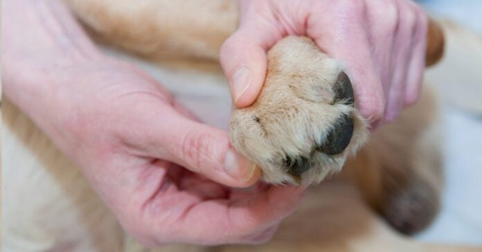 Cracked Dog Paws Home Remedies