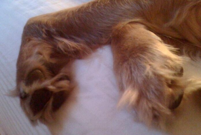 Dog Breeds with Fur between Toes