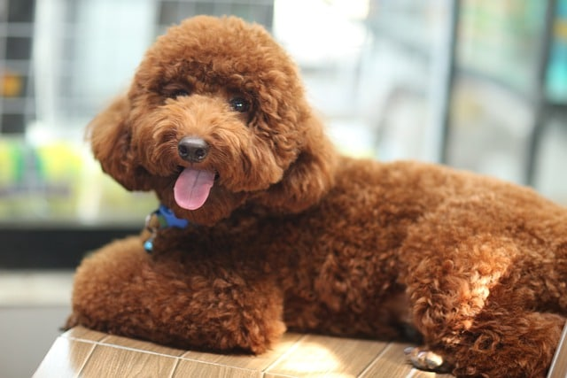 How to Give your Poodle a Puppy Cut