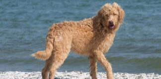 Pros and Cons of Owning a Vizsla Poodle Mix