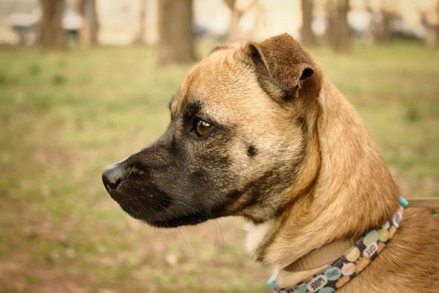 Beagle Greyhound Mix