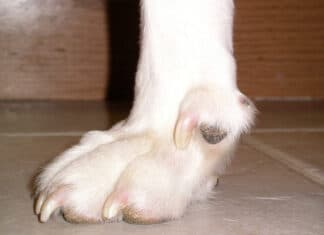 How to Tell If Dew Claw Is Dislocated