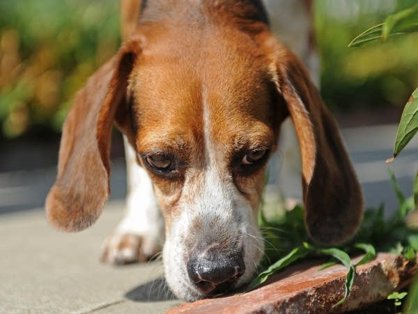 Dogs with the Worst Sense of Smell
