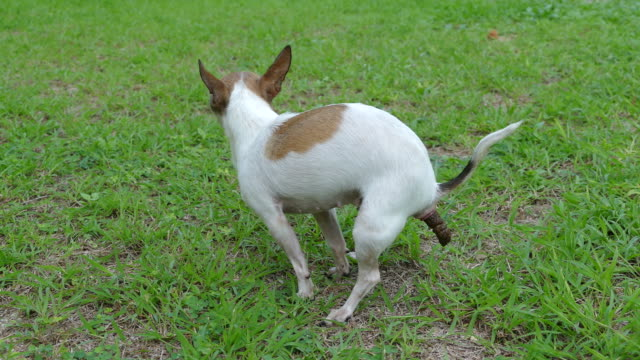 How Often Should a Chihuahua Poop