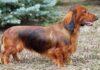 Barrel Chest Dog Breeds