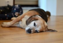 What to Feed a Dog with Pancreatitis