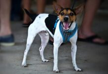 Are Rat Terriers Smart? Here's Why They Rank High for Dog Intelligence