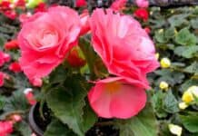 Are Begonias Poisonous to Dogs?