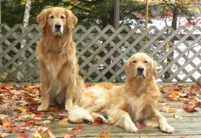 Canadian Golden Retriever: Everything You Need To Know Before Welcoming One to Your Home