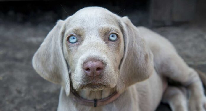 Grey Dogs with Blue Eyes