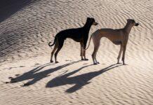 Middle Eastern Dog Breeds
