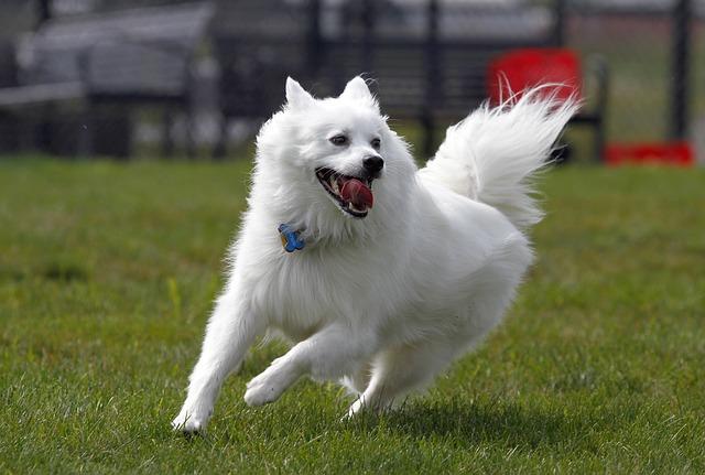 American Eskimo dog price
