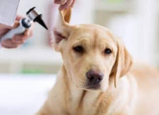 Best Dog Ear Cleaners for Yeast