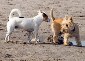 How to Get a Male Dog to Eat When a Female Dog is in Heat