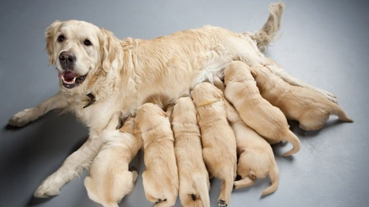 Is the First Litter of Puppies the Best?