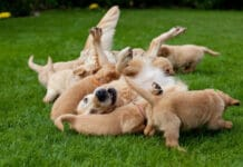 Does The Male Or Female Dog Determine The Size Of The Puppies?
