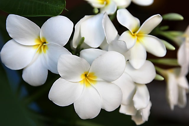 Is Jasmine Poisonous to Dogs?