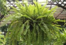 Are Boston Ferns Toxic To Dogs?