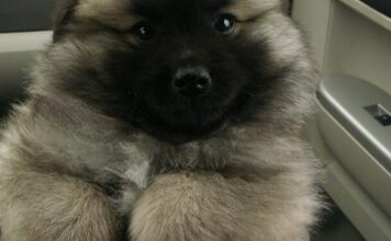 Is Keeshond American Eskimo Mix Right for You?