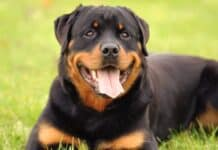 Black and Orange Dogs That Turn Heads