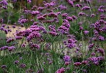 Is Verbena Poisonous to Dogs?