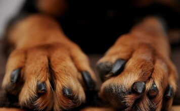 Small Dog Breeds with Big Paws
