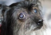 Best Eye Drops for Dogs with Cataracts