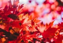 Are Maple Leaves Poisonous to Dogs?