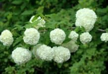 Is Viburnum Poisonous to Dogs?