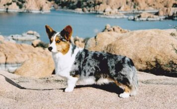 Everything You Need To Know About Owning a Merle Corgi