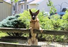 Dog Breeds That Don't Need a Fence