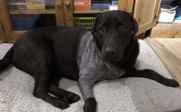 How Long Does It Take For Dog Fur To Grow Back After Surgery?